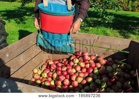 Harvest in a commercial apple orchard with picking baskets. Ready to empty the picking basket into the bin.