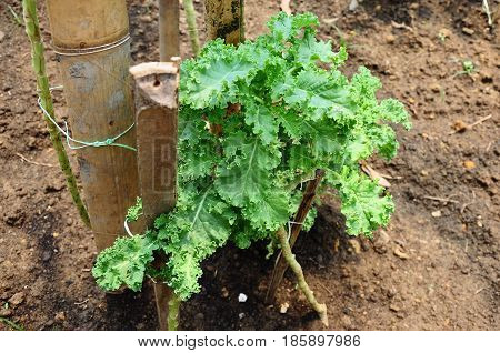Small Kale plants with curly leaves tied to a bamboo stick to hold it.  Kale is a nutritious health food suitable eaten raw, cooked, as salads or juices.