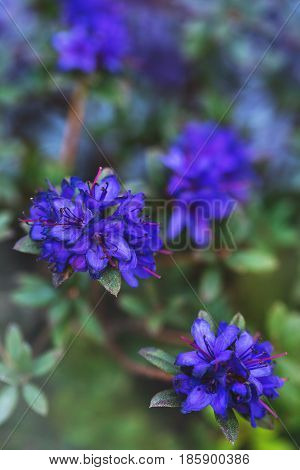 Azalea 'Blue Baron'. Spring flowering of blue rhododendron
