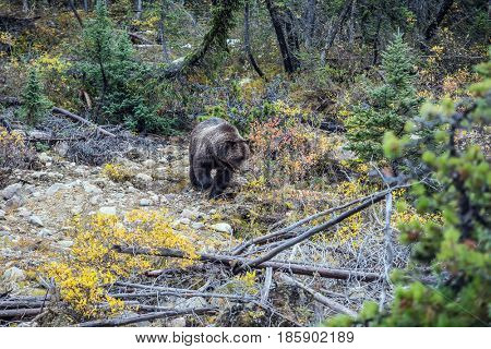 Large brown bear walks along the autumn forest in search of food. Jasper National Park, Canada