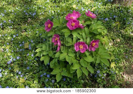 Pink Flowers Of Peony Daurica With Lesser Periwinkle Spreading Along The Ground