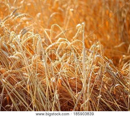 Close up of ripe wheat ears. Beautiful backdrop of ripening ears of golden field.  Agriculture scene of sun setting over the yellow meadow