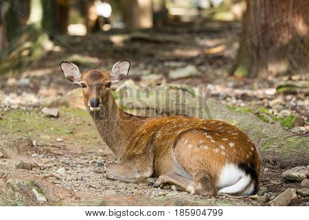 Deer lying down on the ground