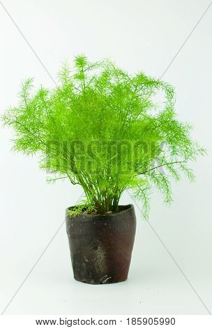 Messy Asparagus Fern aka Foxtail Fern Grow in Dark Brown Handmade Japanese Style Tea Cup in White Isolated Background