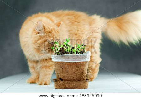 Fluffy Big Orange Persian Cat Curious to New Grown Green Organic Sunflower Sprouts in a Flowerpot Made From Plant Fibers on White Surface with Gray Background