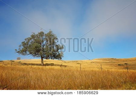 A lonely tree uphill with yellowish grass caused by dry weather.