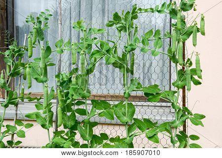 Ripe Juicy Green Peas Growing