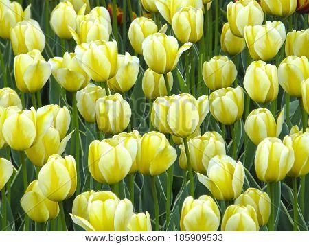 Flowers. Spring tulips. Very beautiful image.
