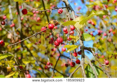 Apples Autumn Berry Early autumn Forest Forest apples Forest berry Grove Wild apples Wild berries Wild berry