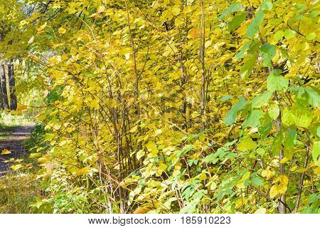 Autumn Early autumn Forest Grove Leaves Leaves of the trees Rays of sunlight Sunlight Sunlight in the branches Trees