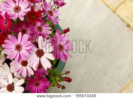 Flowerpot Full Of Pink And Magenta African Daisies