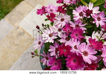 Dozens Of Pretty Pink And Magenta African Daisies