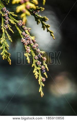 Green Thuja cones in garden spring time.