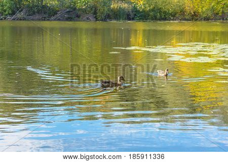 Autumn Duck Ducks Early autumn Forest Forest river Forest swamp Grove River Swamp Wild Duck Wild Ducks