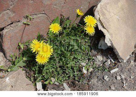 Flowering Dandelions (taraxacum Officinale) Germinating Through Asphalt