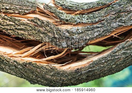 Thick cracked branch of a tree after a hurricane, close-up