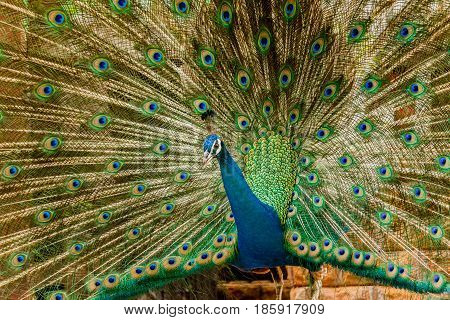 Peacock. Portrait of male peacock displaying his tail feathers.