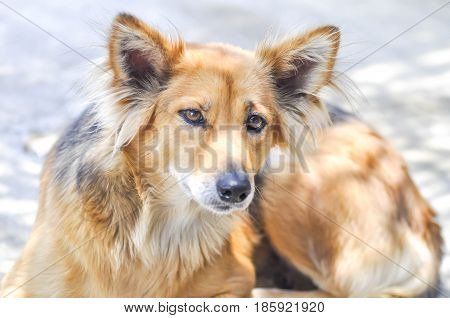 stray dog , half-breed dog or mongrel dog