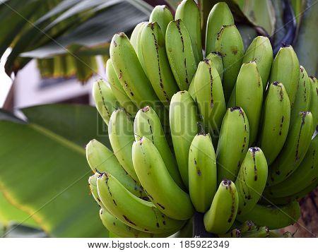 Bunch of banana growing on banana tree.Banana Fruits.Selective focus.