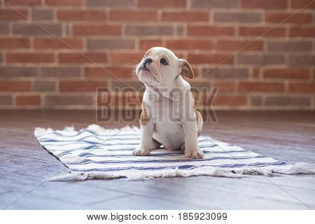 Funny sleeping red white puppy of english bull dog close to brick wall and on the floor looking to camera.Cute doggy with black nose colorful body sitting on wooden floor
