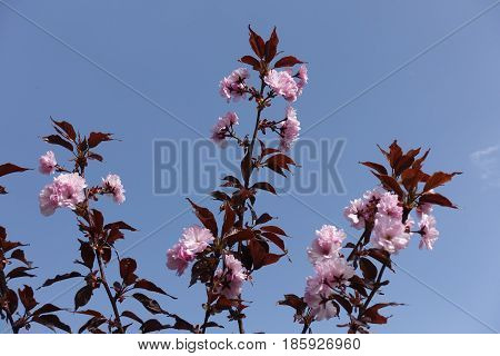 Three Flowering Branches Of Prunus Kanzan Against The Sky