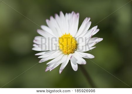 .361/5000.common White Daisy Photographed Close Up.
