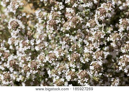 Thymus Vulgaris Photographed Close Up In Spring.
