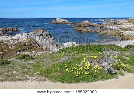 Surf rocks and Bermuda buttercup (Oxalis pes-caprae) spring wildflowers at Asilomar State Beach park on the Monterey Peninsula in Pacific Grove California