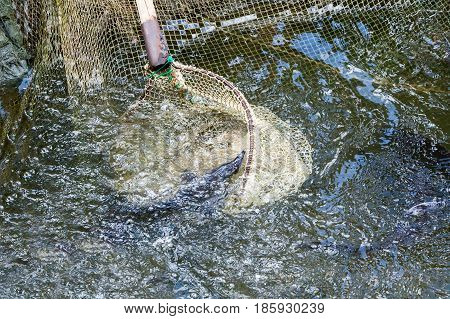 The Fisherman Pulls Out Trout A Net From Pond