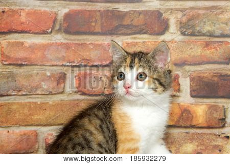 Portrait of a calico kitten looking to viewers left. Brick wall background.