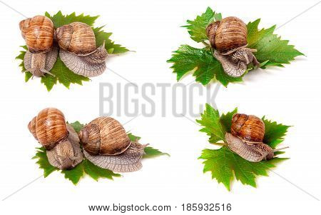 snails crawling on the grape leaves on a white background close-up macro. Set or collection.
