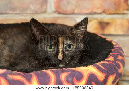 Portrait of a tortie tabby kitten laying in a brightly colored bed looking at viewer. Brick wall background.