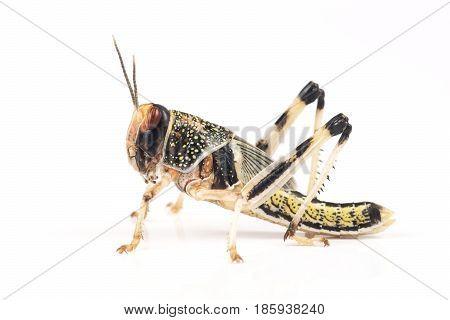 Locust Desert locust (Schistocerca gregaria) pupa on a white background