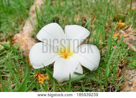A fallen plumeria flower. White and yellow plumeria fallen on the background grass. Plumeria flower.