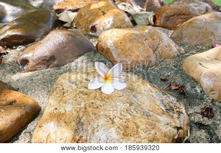 A fallen plumeria flower. White and yellow plumeria fallen on the background stones. Plumeria flower.