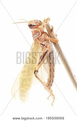 Desert locust (Schistocerca gregaria) immediately after molt