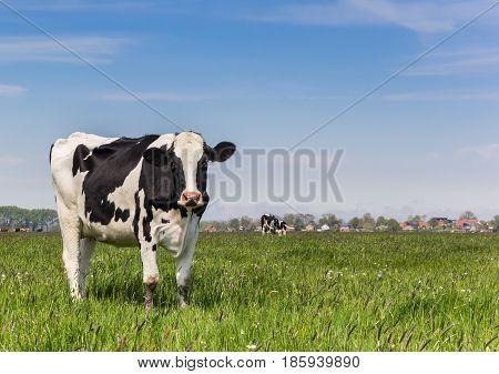 Dutch Holstein Cow Standing In The Grass