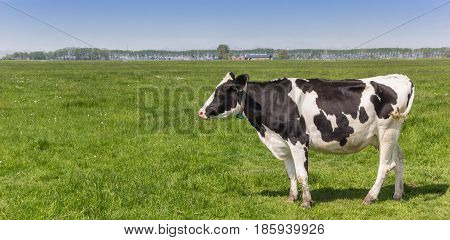 Panorama Of A Dutch Black And White Holstein Cow