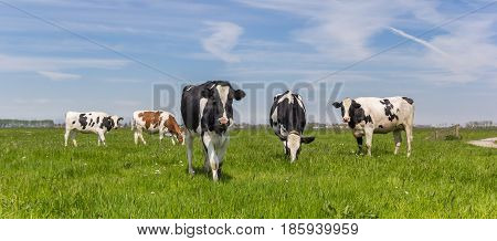Panorama Of Dutch Holstein Cows
