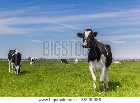 Dutch Holstein Cows In The Farmland Near Groningen