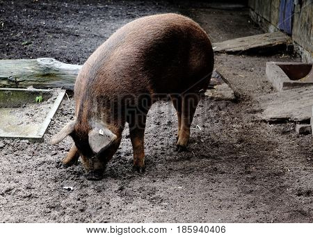 A photo of a digging Duroc pig