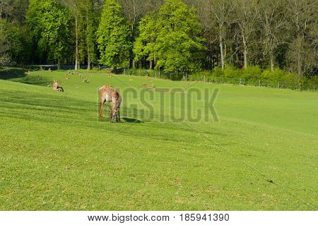 A herd of deer on a green pasture at the sunset. Spring-breeding youngsters. Field in the woods. Fallow deer in the field