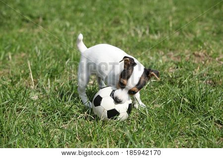 Jack Russell Terrier Puppy Playing