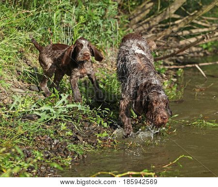 Italian Wire-haired Pointing Dog Puppy With Its Mother