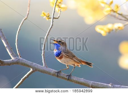 a blue bird sings in the spring garden blooming bright yellow tree branch