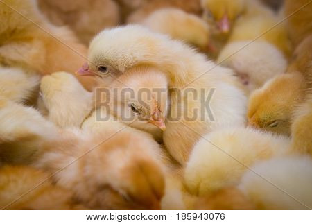 The chickens are yellow. There are a lot of newborn chicks in the frame.