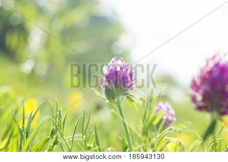 Summer field with yellow and pink flowers Clover. Wild meadow pink clover flower in green grass in meadow soft sunlight. Vintage photo with pastel colors and romantic atmosphere soft focus