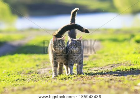 two cute striped kitten walking on green grass
