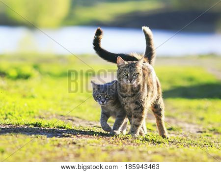 two cute striped kitten walking together in an embrace on a green meadow and holding up the tails on a Sunny summer day