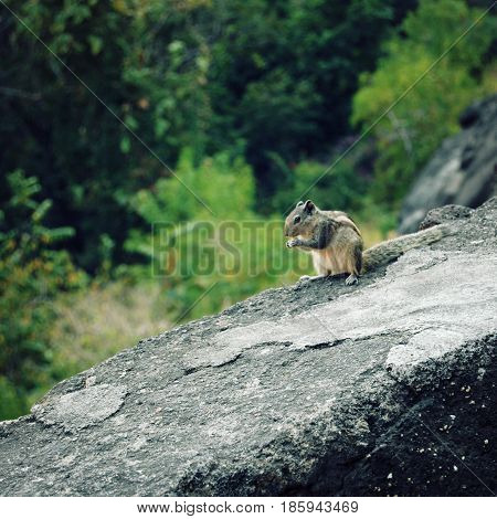 Small chipmunk eating. Aged photo. Little ground squirrel sitting on the gray rock. Animals of India.